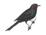 Brewer's Blackbird (Euphagus Cyanocephalus)  Birds