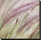 Fountain Grass 7