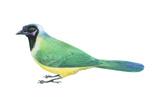 Green Jay (Cyanocorax Yncas)  Birds