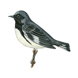 Black-Throated Blue Warbler (Dendroica Caerulescens)  Birds