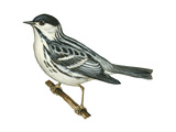 Black-Poll Warbler (Dendroica Striata)  Birds