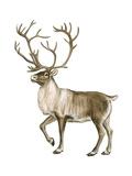 Barren Ground Caribou (Rangifer Arcticus)  Mammals