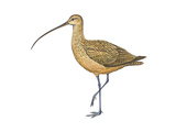 Long-Billed Curlew (Numenius Americanus)  Birds