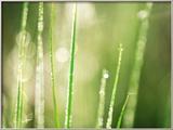 Morning Dew on Grass Leaves Photo encadrée