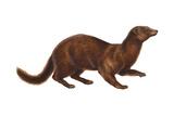 Mink (Mustela Vison)  Mammals