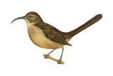 California Thrasher (Toxostoma Redivivum)  Birds