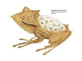 Banded Horned Tree Frog (Hemiphractus Fasciatus)  Amphibians