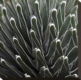 Cactus 34