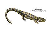 Ambystoma (Ambystoma Tigrinum)  Amphibians
