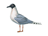 Bonaparte's Gull (Larus Philadelphia)  Birds