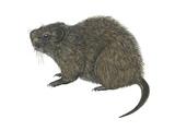 Great Cane Rat (Thryonomys Swinderianus)  Mammals