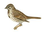 Song Sparrow (Melospiza Melodia)  Birds