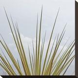 Dagger Yucca