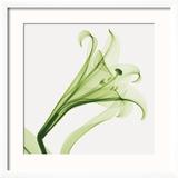 Lilies A (Positive) Reproduction giclée encadrée par Steven N. Meyers