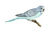 Shell Parakeet (Melopsittacus Undulatus)  Birds