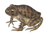 Barking Frog (Eleutherodactylus Latrans)  Amphibians