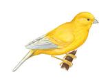 Canary (Serinus Canaria)  Birds