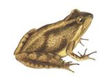 Cricket Frog (Acris Gryllus)  Amphibians