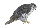 Gyrfalcon (Falco Rusticolus)  Birds