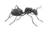 Carpenter Ant (Camponotus Pennsylvanicus)  Insects