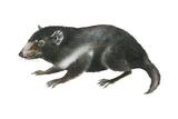 Tasmanian Devil (Sarcophilus Harrisii)  Marsupial  Mammals