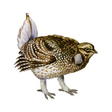 Sharp-Tailed Grouse (Tympanuchus Phasianellus)  Birds