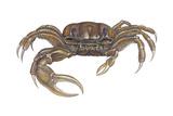 Marsh Fiddler Crab (Uca Pugnax)  Crustaceans