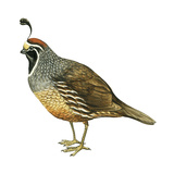 California Quail (Callipepla Californica)  Birds