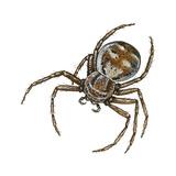 Elegant Crab Spider (Xysticus Elegans)  Arachnids
