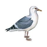 Western Gull (Larus Occidentalis)  Birds
