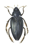 Water Scavenger Beetle (Hydrophilus Triangularis)  Insects