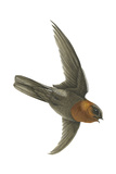 Chestnut-Collared Swift (Cypseloides Rutilus)  Birds