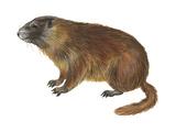 Yellow-Bellied Marmot (Marmota Flaviventris)  Mammals
