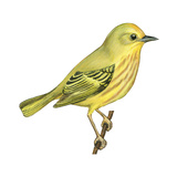 Yellow Warbler (Dendroica Petechia)  Birds
