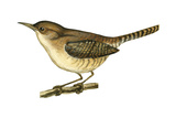 House Wren (Troglodytes Aedon)  Birds