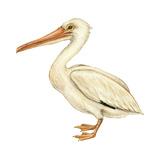 White Pelican (Pelecanus Erythrorhynchos)  Birds