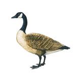 Canada Goose (Branta Canadensis)  Birds