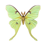 Luna Moth (Actias Luna)  Insects