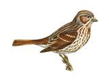 Fox Sparrow (Passerella Iliaca)  Birds