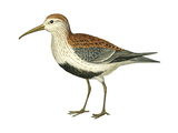 Red-Backed Sandpiper (Calidris Alpina Pacifica)  Birds