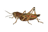 Lubber Grasshopper (Dictyophorus Reticulatus)  Insects