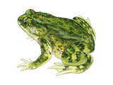 Green Toad (Bufo Debilis)  Amphibians