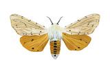 Acrea Moth (Estigmene Acraea)  Insects