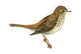 Hermit Thrush (Catharus Guttatus)  Birds