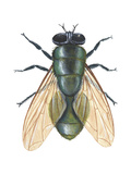 Greenbottle Fly (Lucilia Caesar)  Insects