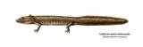 Urodele Larva  California Giant Salamander (Dicamptodon Ensatus)  Amphibians