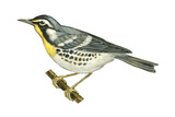 Yellow-Throated Warbler (Dendroica Dominica)  Birds