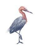 Reddish Egret (Dichromanassa Rufescens)  Birds