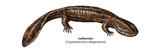 Hellbender (Cryptobranchus Alleganiensis)  Amphibians