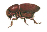 Smaller European Elm Bark Beetle (Scolytus Multistriatus)  Insects